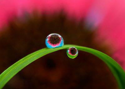 Echinacea Drops