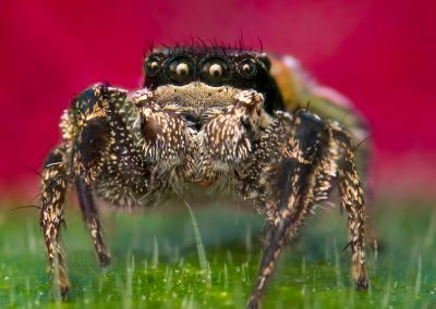 Habronattus brunneus Male Jumping Spider