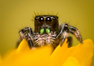 Baby Jumping Regal Spider